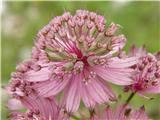 Veliki zali kobulček (Astrantia major)