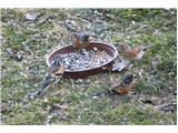 Hranjenje pticPinože