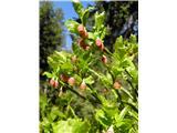 Borovnica (Vaccinium myrtillus)