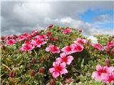 Katera rožca je to?Triglavska roža