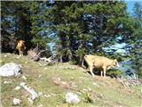 Iz gozda na Dobrči so zvedavo prišle kravice. 30.8.2015