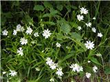 Velecvetna zvezdica (Stellaria holostea)