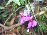 Spomladanski grahor (Lathyrus vernus vernus)