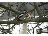 Hranjenje pticVeliki detel