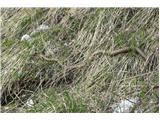 Kače v SlovenijiBohvarej za travo prijet ko lezeš po kaki travnati strmini