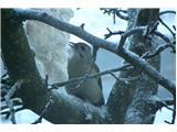 Hranjenje pticZelena žolna pravilno je Siva žolna