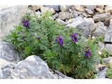 Monte Peralba (2694)bolje cvetje kot utrdbe