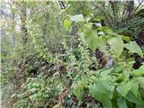 Lepljiva kadulja (Salvia glutinosa)
