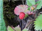 Prelaz Ljubelj (koča)Gozdna jagoda
