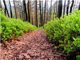 Debenji vrhdel poti med borovničevjem