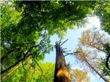 Debenji vrhsuho drevo