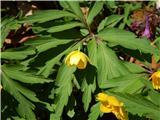 Zlatična vetrnica (Anemone ranunculoides)