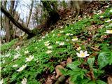 Debenji vrhvse cveti