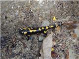 Pjegavi daždevnjak (Salamandra salamandra)