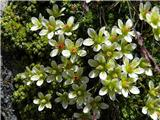 Raskavi kamnokreč (Saxifraga aspera)