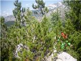 Planina Za Skalo in Kaluderku, ku, nekdo se utaplja v rušju;)