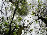 Debenji vrhprve bukve že zelenijo