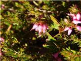 Spring heath (Erica carnea)