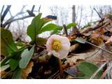 Polhograjska Grmadateloh že lepo cveti