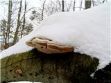 Debenji vrhlesna goba