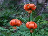 Prelaz Ljubelj (koča)Kranjska lilija