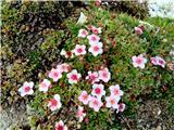 Mala MojstrovkaTriglavska roža še cveti