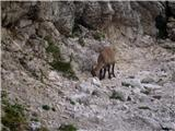 Divja koza - Cima di Riofreddo 2507 mčas kosila