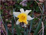 Sveta Ana (Ljubelj)Narcisa