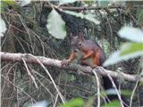 Veverica (Sciurus vulgaris)