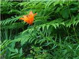 Prelaz Ljubelj (koča)Brstična lilija
