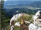 Javorca(Golte)tudi natresk raste v Tirskih pečeh