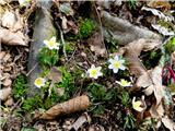 Debenji vrhkončno je prišla pomlad