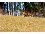 Blegošzačudena opazovalka(lisica)
