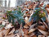 Almond Spurge (Euphorbia amygdaloides)