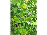 Alpski goltec (Tozzia alpina)