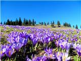 Velika planinačudovita kulisa žafranov