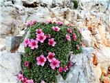 Škrlaticatriglavska roža