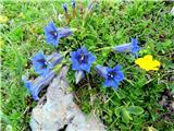 Struškavse cveti
