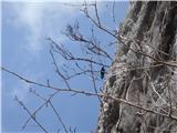 Javorca(Golte)krokar v ostenju Okna