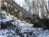Javorca(Golte)vetrolom na južni strani Medvedjaka