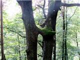 Debenji vrhzanimivo drevo