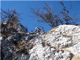 Veliki Rogatecutrinek na grebenu