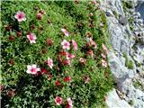 Vrbanove špicetriglavska roža