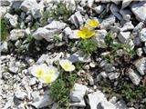 Žrd (2324m)beli in rumeni mak