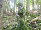 Planina Za Skalo in Kaludermarkantno drevo, mimo katerega gre steza