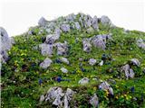 Struškacvetoči skalnjak