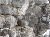 Javorca(Golte)utrinek pri bivaku - planinska pevka