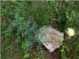 Centaurea alpina