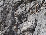 Javorca(Golte)utrinek pri bivaku