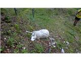 Matkova kopasirota ovca se je zapletla v žico od pastirja